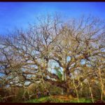 The Great Oak