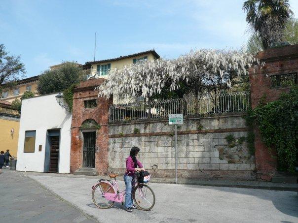 Glicine in Lucca