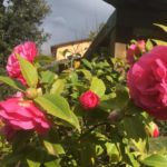 Cammellias in the garden